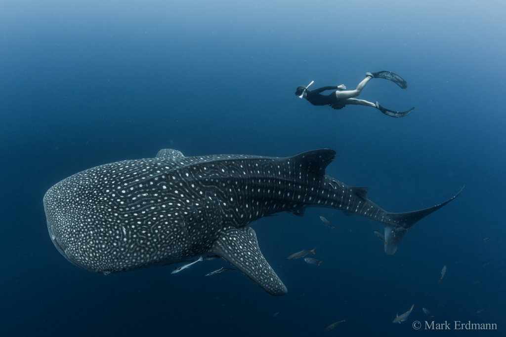 The whale shark Rhincodon typus is the world's largest fish (reaching up to 18m in length!) and is regularly encountered in both Cendrawasih and Triton Bays in the BHS.