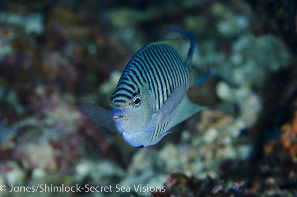 Blackspot Angelfish-Genicanthus melanospilos