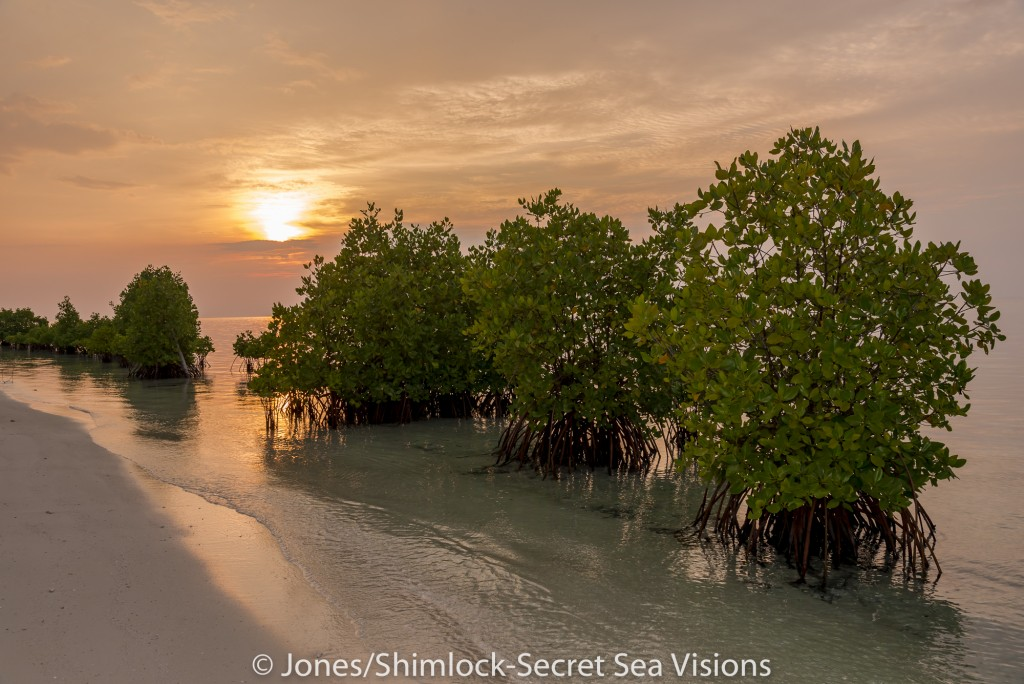 Mangrove planted by villagers to control beach erosion. Arborek Island, Raja Ampat, West Papua, Indonesia