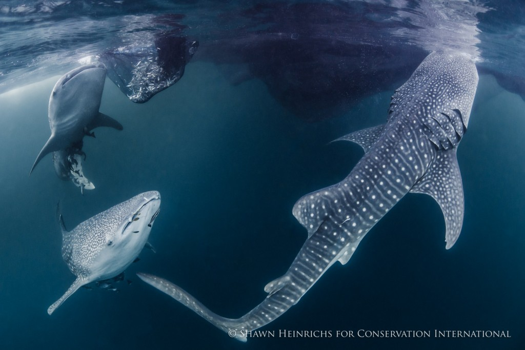 Cendrawasih's world-renowned whale sharks frolic under the bagan lift-net fishing vessels near Kwatisore village in the south of the Bay.