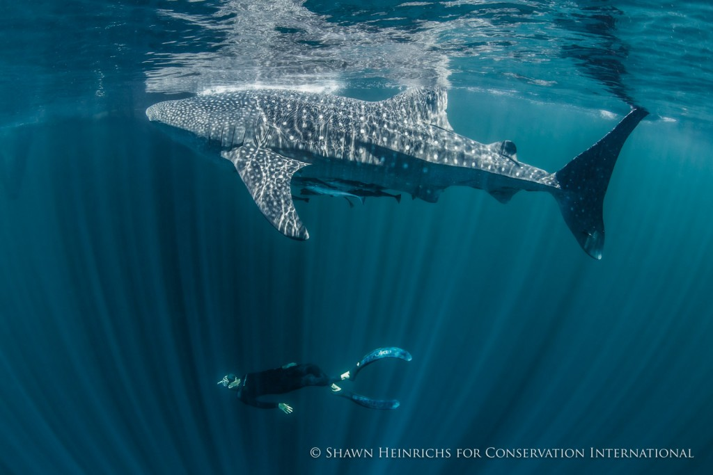 The author confirming the sex of this shark. Well over 95% of the sharks identified in Cendrawasih are juvenile or young adult males measuring 3-9m in total length - a situation which is reported from most of the main whale shark aggregations visited by tourists around the world. The whereabouts of the females and large adult males is unknown, though many scientists presume they spend their time in deeper waters...