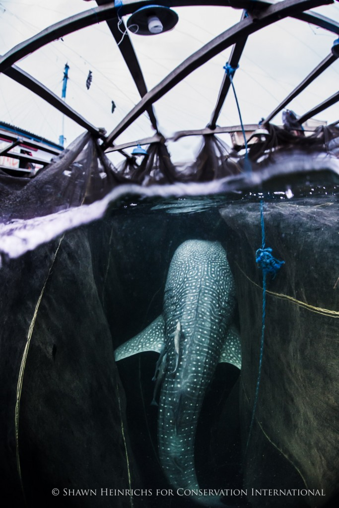"Whale sharks feeding under the bagans frequently end up as part of the catch of ""ikan puri"" baitfish, which affords a rare opportunity to quickly deploy a fin-mount satellite tag before releasing them."