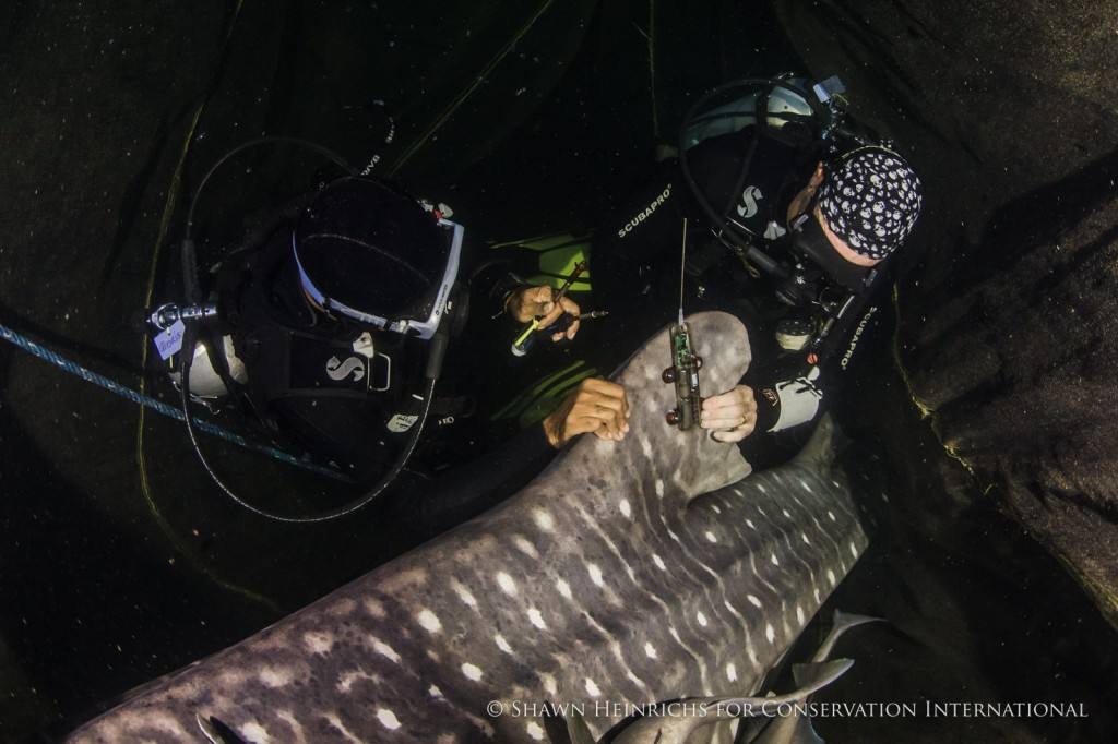 Mounting a fin-mount satellite tag takes only 10-15 minutes, but will provide near real-time data on the shark's movements and diving behaviour for up to 2 years!