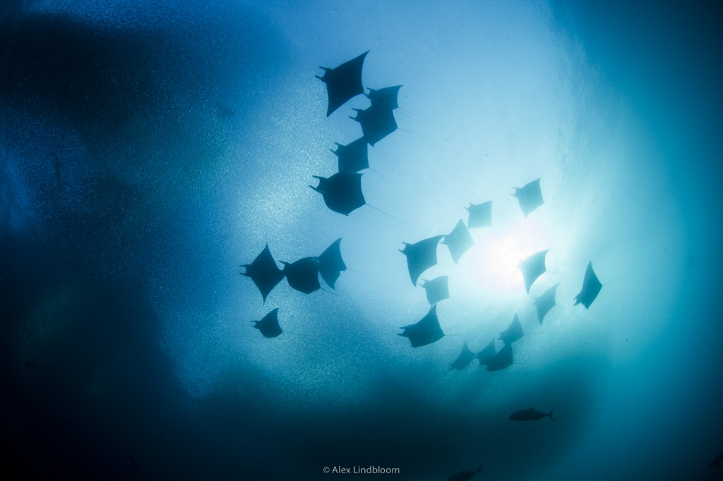 Devil Ray Squadron herding Baitfish into the shallows