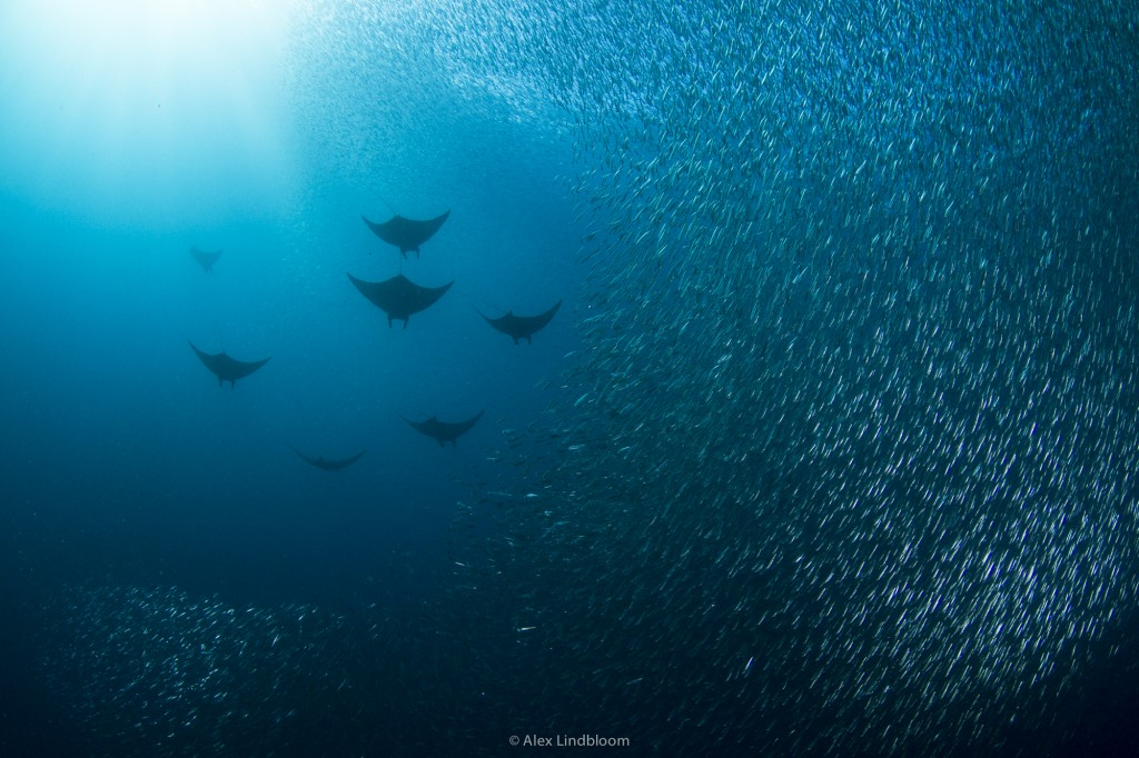 "Devil Rays and their ""Dancing"" Partners"
