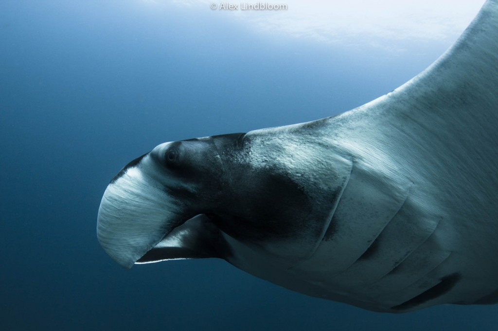 Alex Lindbloom_Oceanic Manta I