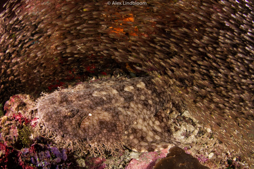 Alex Lindbloom_Wobbegong I