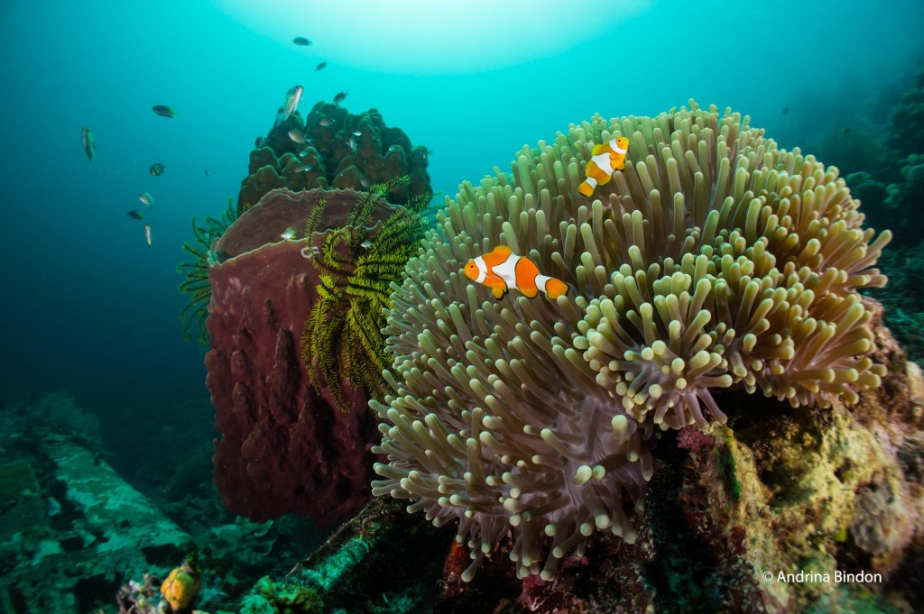Anemone on Japanese Oscar aircraft off Pulau Rippon