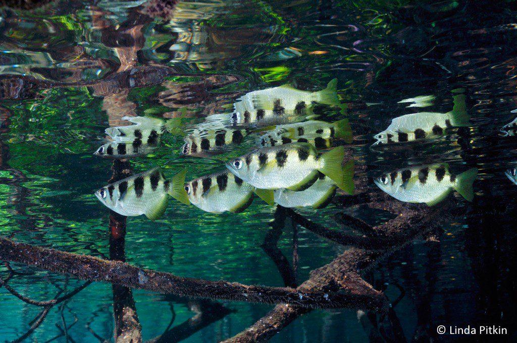 Archer Fish (Toxotes jaculatrix) in mangroves (Rhizophora sp.) Indonesia: West Papua, Raja Ampat, Yanggefo Island, Mangrove Ridge