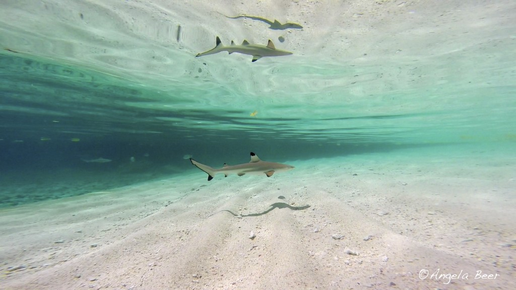 Light Rays, Reflection Blacktip Reef Shark