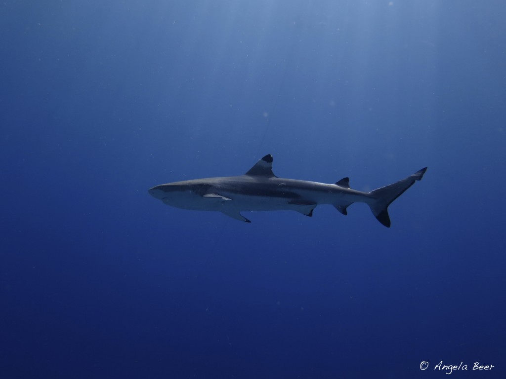 Blacktop Reef Shark