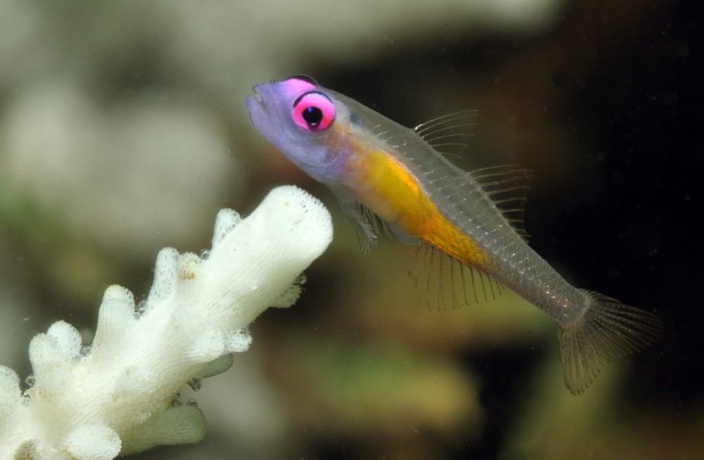 Gerry Allen-Hovering Goby Note: eggs attached to base of dead coral polyps