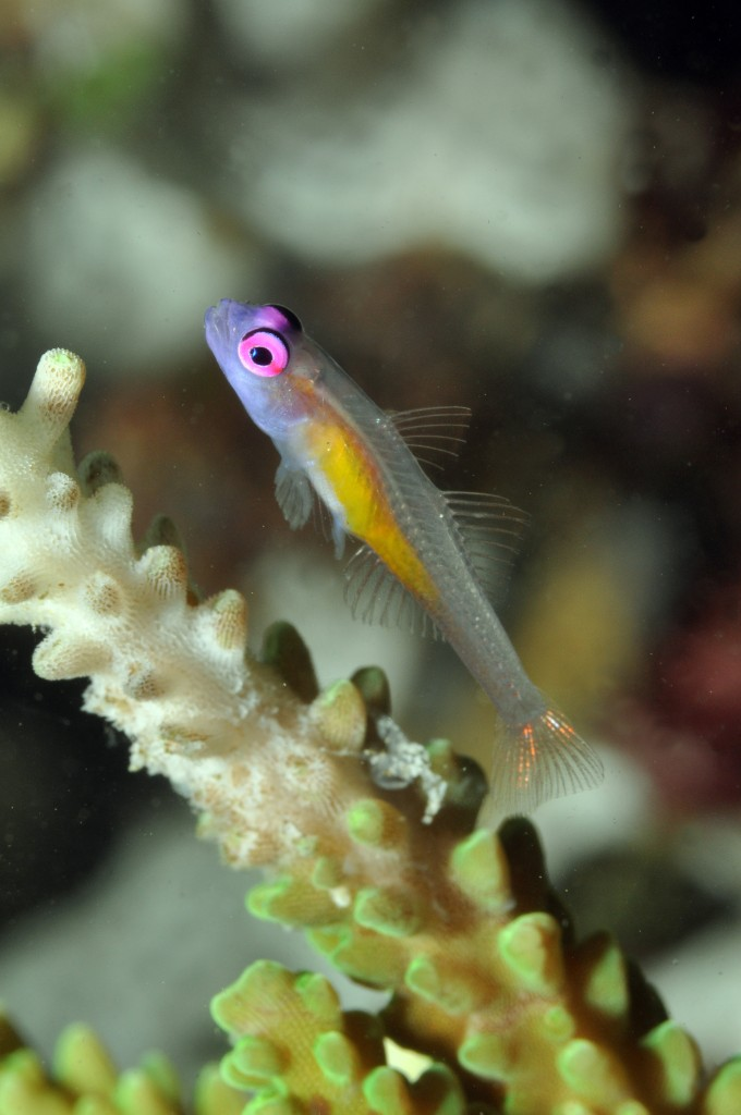 Gerry Allen- A Hovering Goby prepares nesting area by nipping, effectively killing, coral polyps at the colony's branch tip