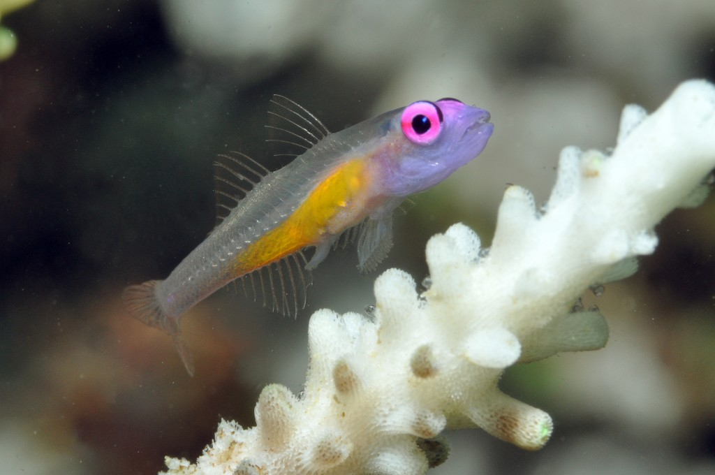 Gerry Allen-Hovering Goby (female) showing ovipositor and eggs attached to base of coral polyps