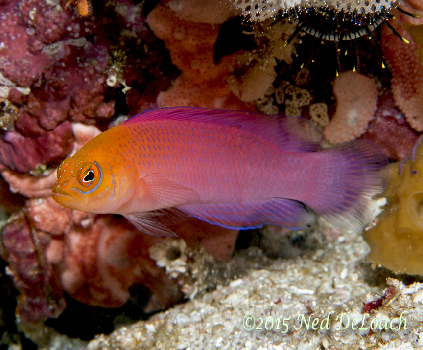 Checkered Dottyback (Cypho zaps)