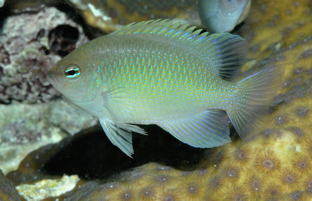 Chrysiptera ellenae - Ellen's damselfish, found on shallow protected reefs of Raja Ampat including Wayag and Ayau lagoons, Kri lagoon, and the karst channels of SE Misool. MV Erdmann photo.