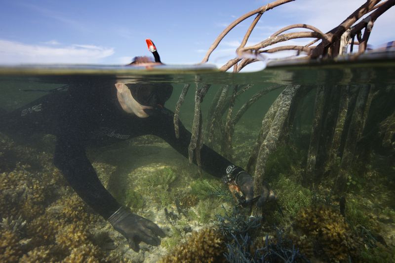Mark Erdmann placing a temperature logger in a mangrove-fringed coral lagoon exposed to very high midday temperatures. (© Keith Ellenbogen)