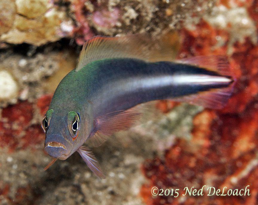Doublestriped Dottyback (Pseudochromis bitaeniatus)