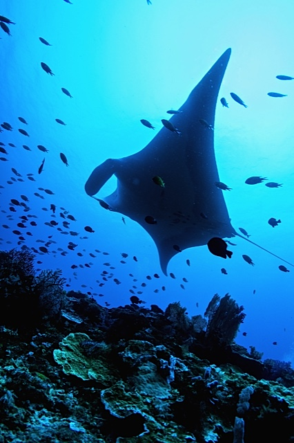Reef Manta