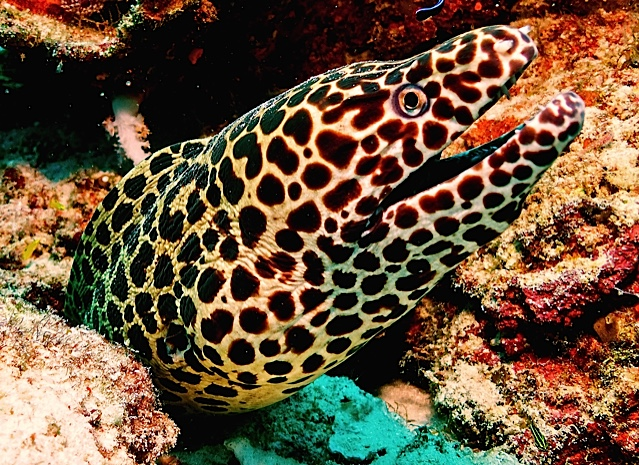 Blackspotted Moray Eel