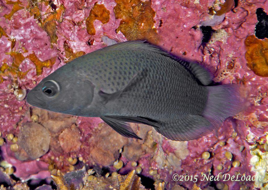 Dusky Dottyback (Pseudochromis fuscus)