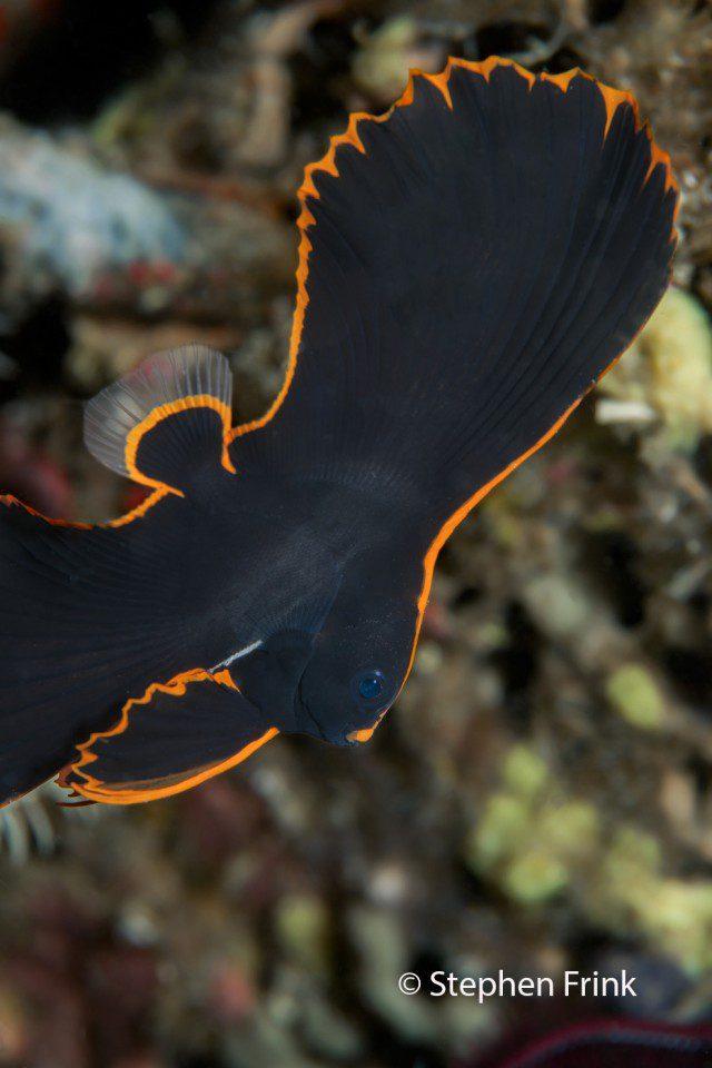 Juvenile Pinnate Batfish or Spadefish