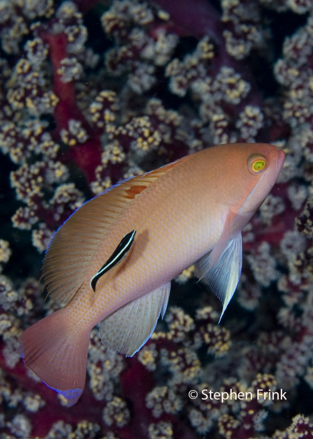 """""""Barrier Reef"""" Anthias being cleaned"""