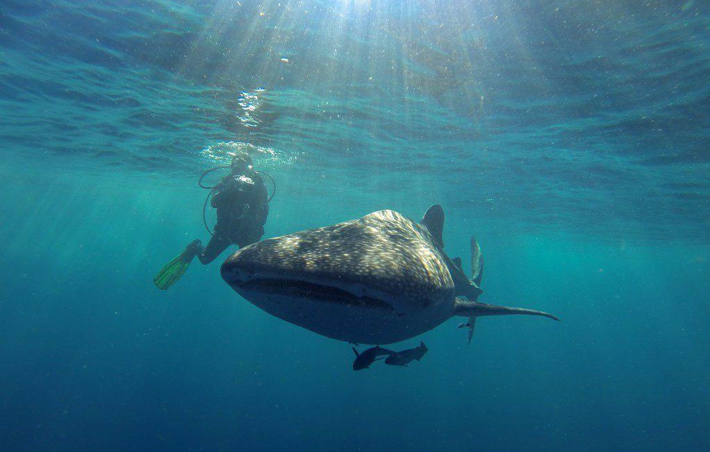 Photographer and Whale Shark