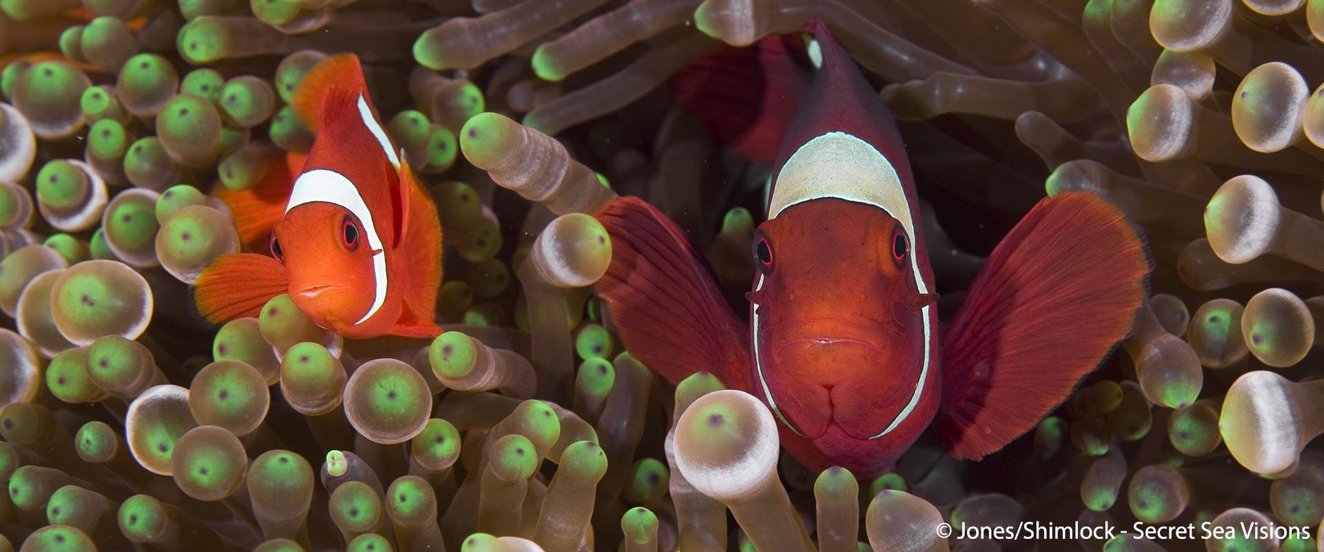 Gen-Anemonefish-header