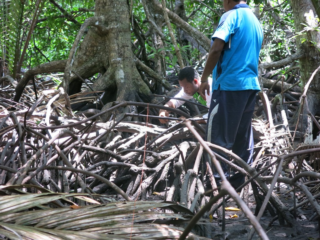 Measuring growth rate in mangrove forest