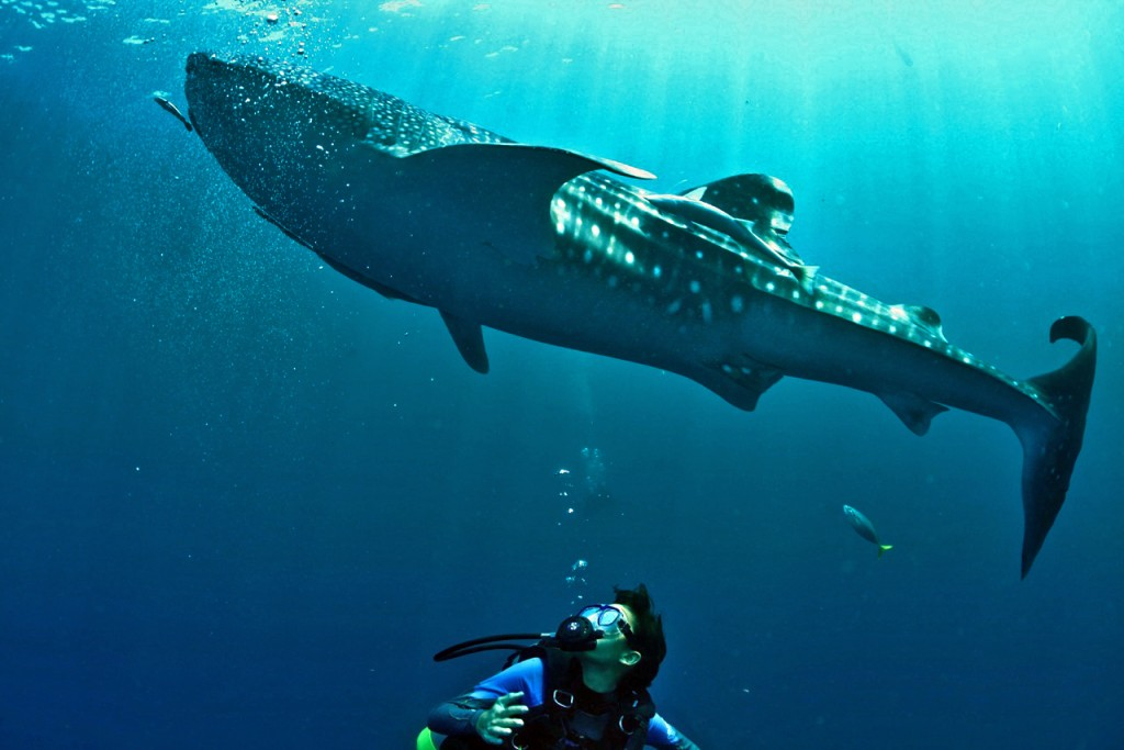 Brahm stares in wonder as a Whale Shark passes overhead