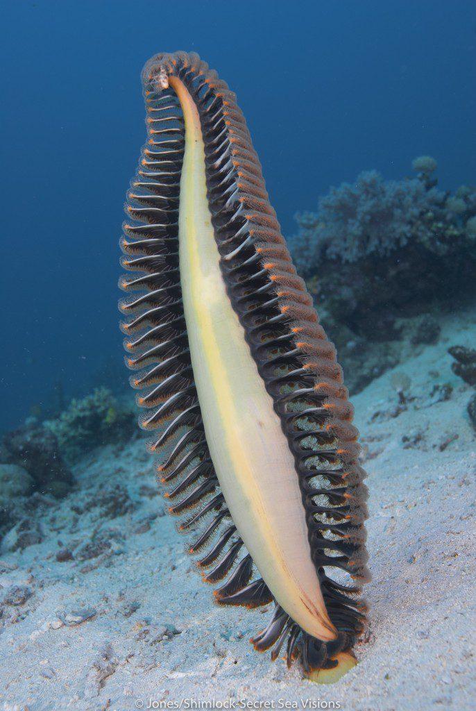 "Typical Sea Pen on soft bottom @ ""Silver Lining"" (Cenderawasih Bay)"