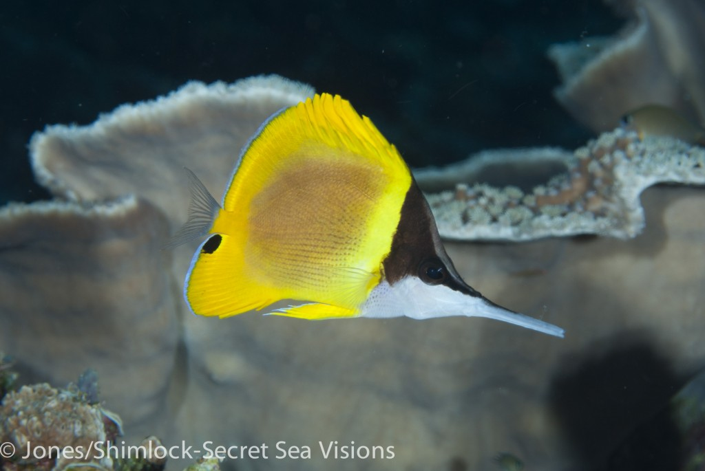 Cenderawasih Longnose Butterflyfish-Forcipiger wanai