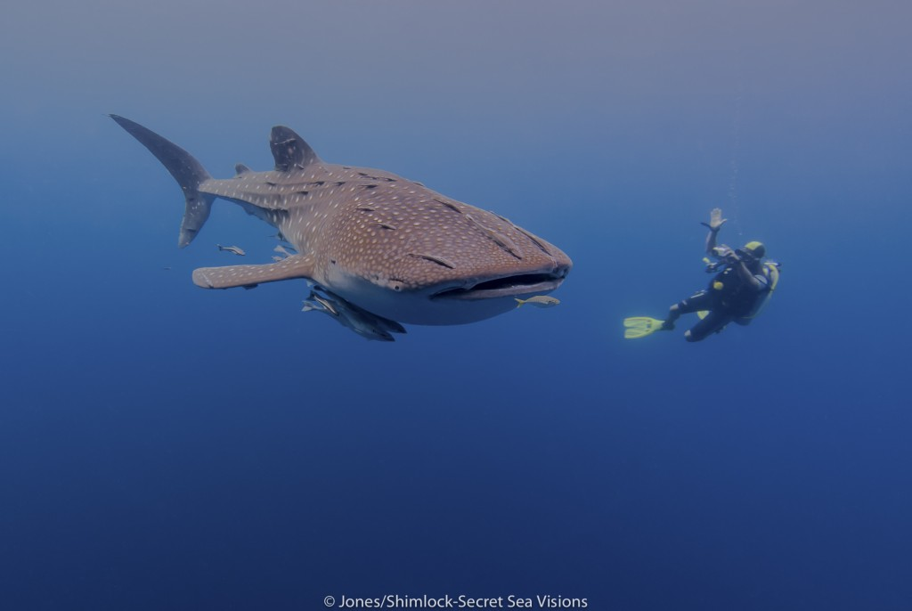 Diver photographing whale shark for inclusion in the data base.