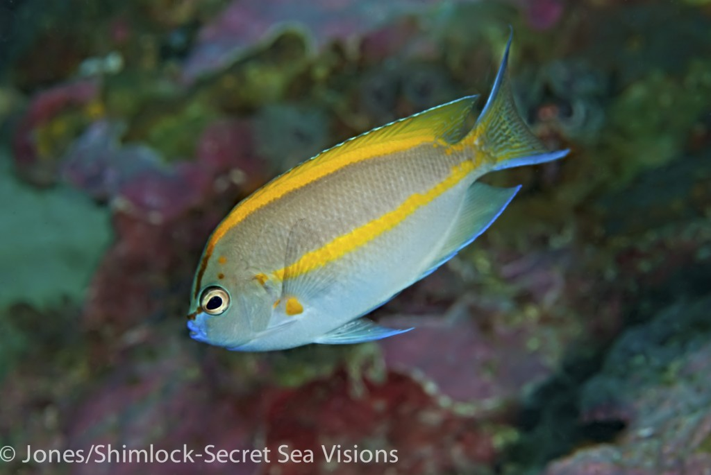 Ornate Angelfish-Genicanthus bellus (male)