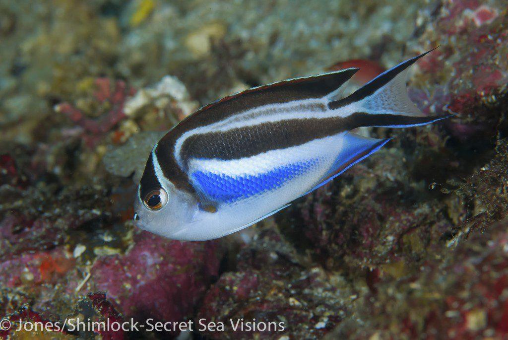 Ornate Angelfish-Genicanthus bellus (female)