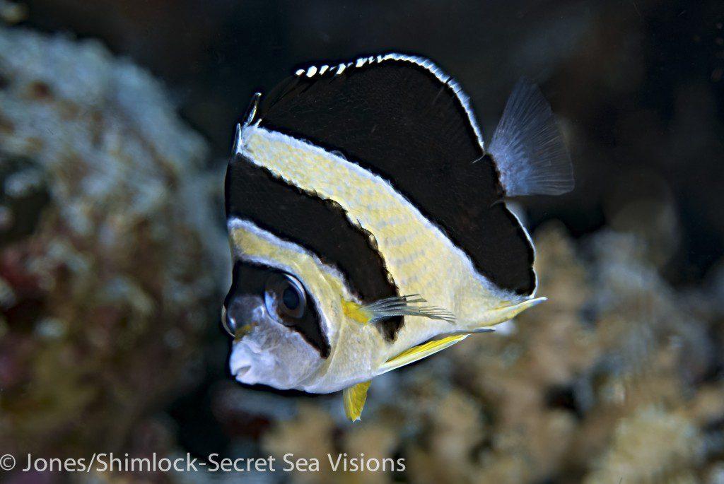 Burgess's Butterflyfish-Chaetodon burgessi