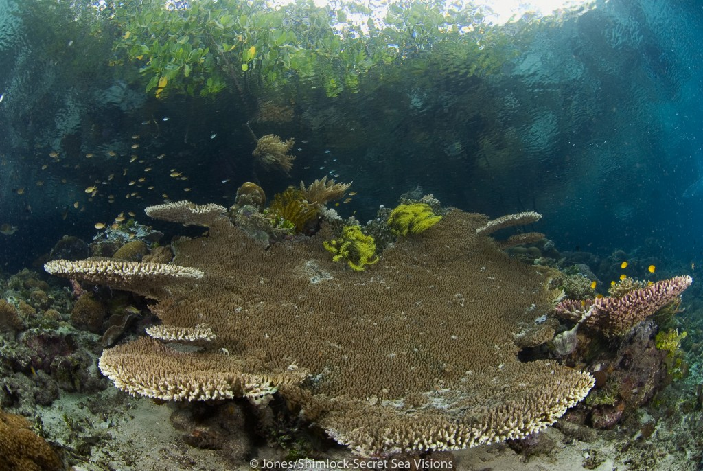 Table coral growing near surface in a mangrove area