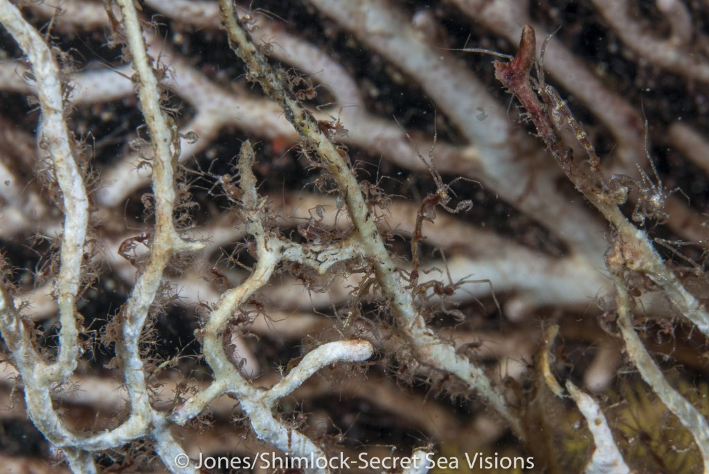 Sea Fan covered with Skeleton Shrimp