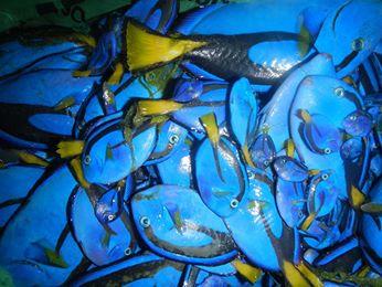 Ikan Hias 1