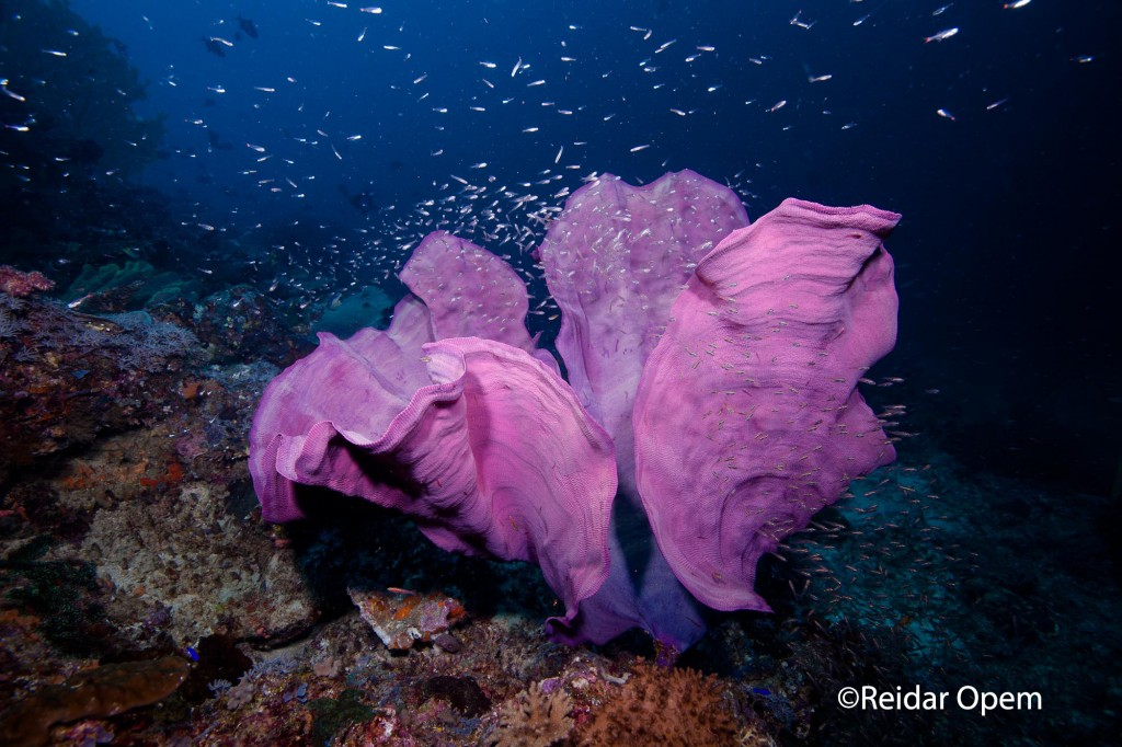 """A """"Deep Purple"""" Elephant Ear Sponge, which gives this site its name!"""