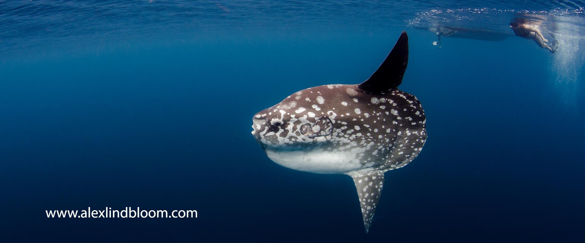 Mola-header
