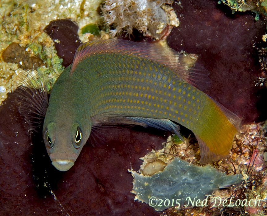 Orange Spotted Dottyback (Pseudochrois-marshallensis)