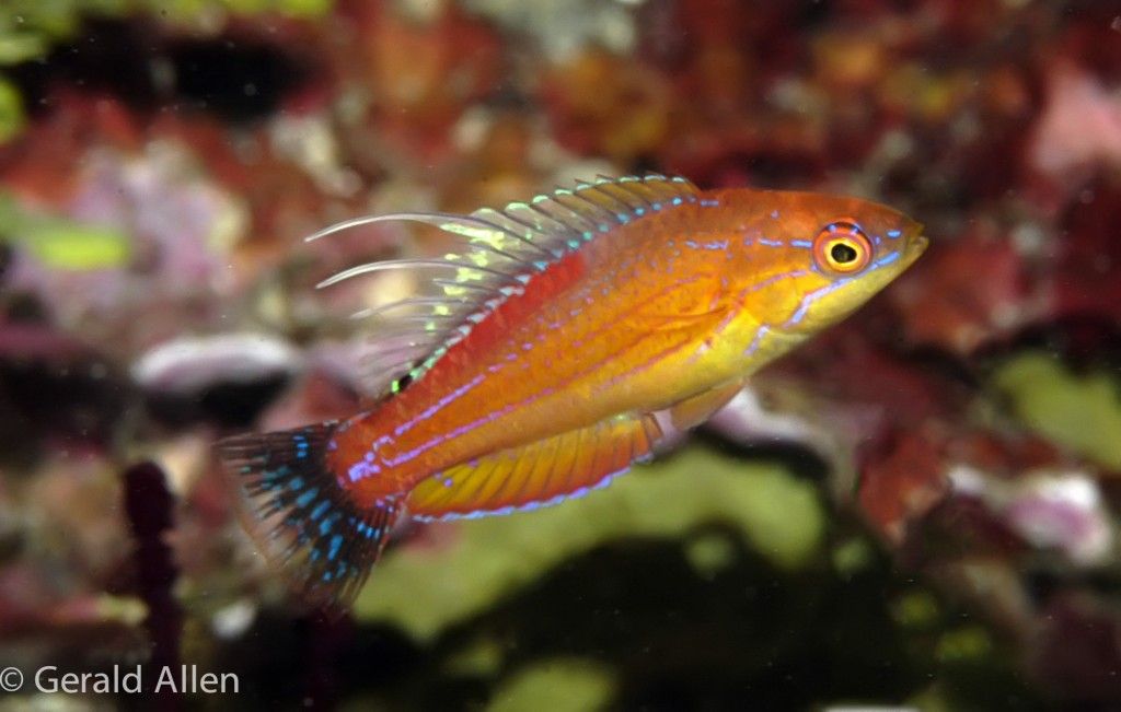 Cenderawasih Flasher Wrasse-Paracheilinus walton-displaying juvenile male