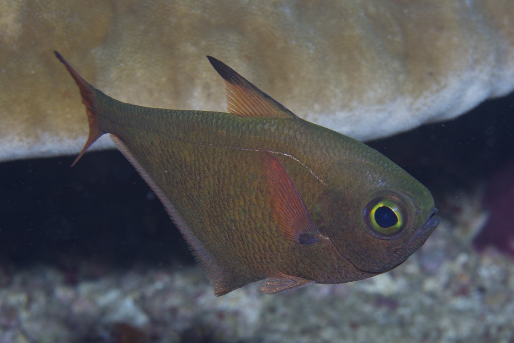 Pempheris adusta