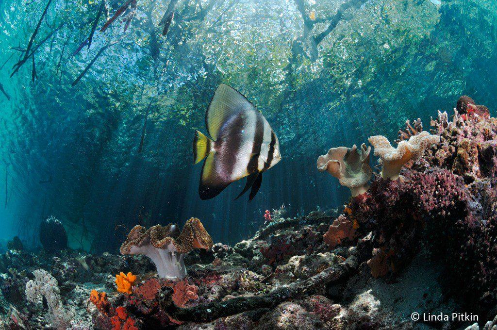 Pinnate Batfish or Spadefish (Platax pinnatus), and soft corals beneath mangroves (Rhizophora sp.) Indonesia: West Papua, Raja Ampat, Yanggefo Island, Mangrove Ridge