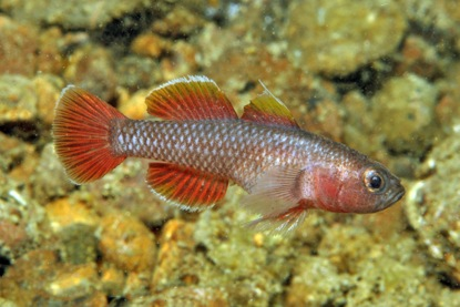 Priolepis aithops