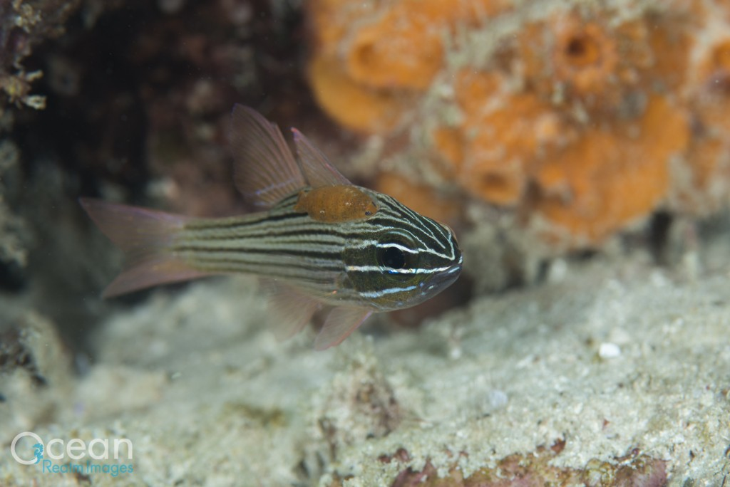 Parasitic Copepod on Cardinalfish