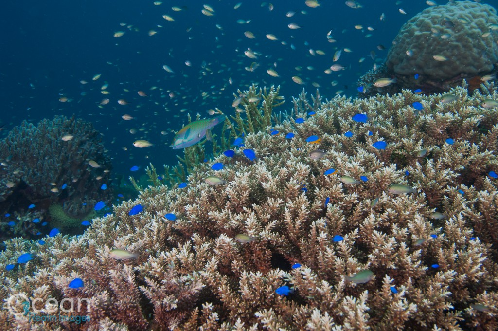 The coral reefs of Raja Ampat have a huge diversity of damselfish species.