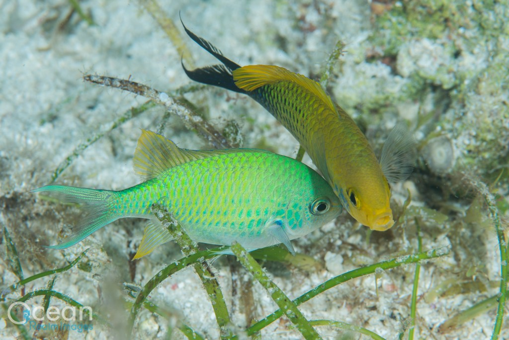 A courting pair of blue-green chromis. When attracting females, the male turns bright yellow to attract females to lay their eggs on his patch. The male fertilises them as the female lays them.